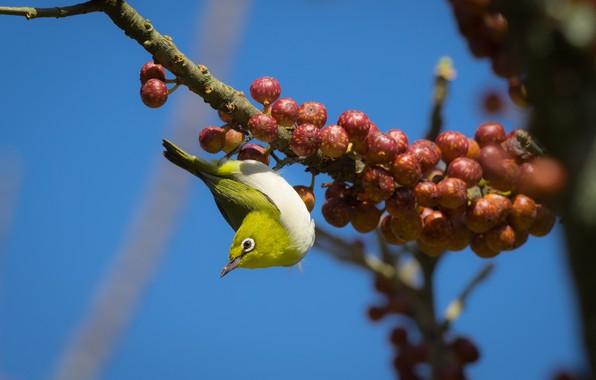 Картинка птицы, ягоды, ветка, японская белоглазка