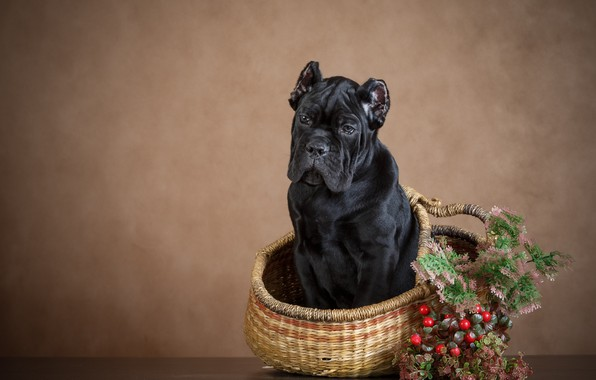 Картинка ягоды, фон, корзина, собака