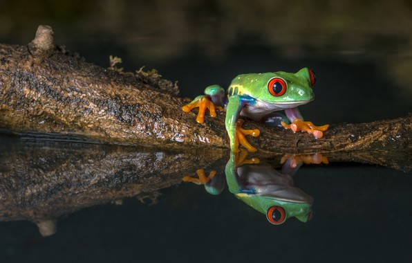 Картинка вода, макро, природа, отражение, темный фон, лягушка, зеленая, водоем, фауна, древолаз, бережок