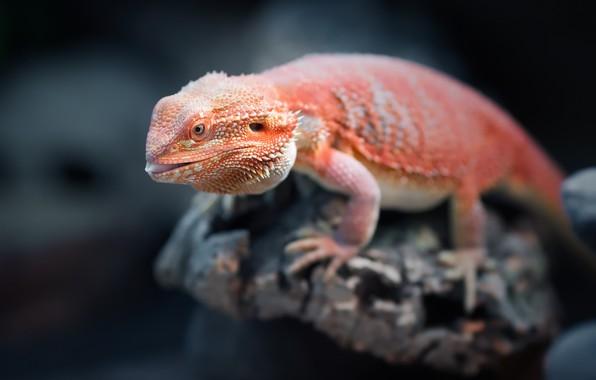 Картинка orange, reptile, Bearded Dragon