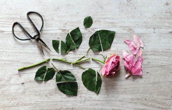 Картинка цветок, роза, ножницы