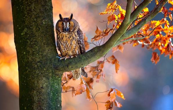 Картинка осень, ветки, дерево, сова, птица, листва