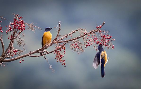 Картинка птицы, ягоды, ветка, парочка, нильтавы