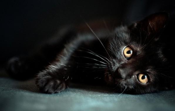 Картинка Jaguar, Beautiful, Tiger, Planet, Black, young, Cat, Wild, Eyes, Kitten, panther, cute, Animals, Animal, Kitty, …