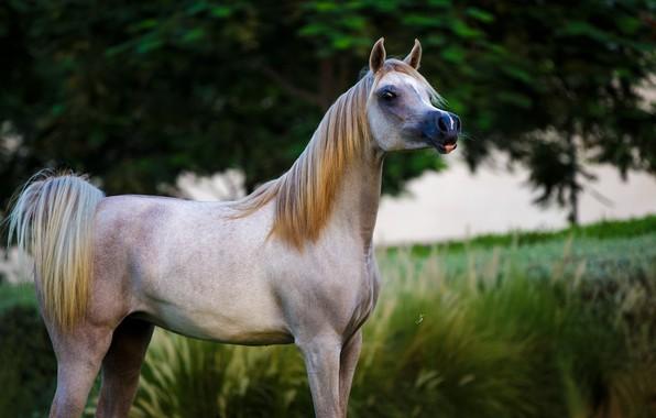 Картинка конь, лошадь, грация, позирует, арабский