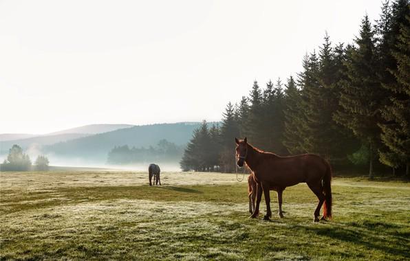 Картинка поле, лес, трава, деревья, пейзаж, природа, туман, утро, лошади