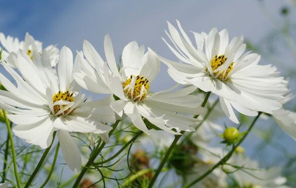 Картинка небо, цветы, природа, нежность, красота, растения, сентябрь, дача, флора, космея, белоснежность, однолетники