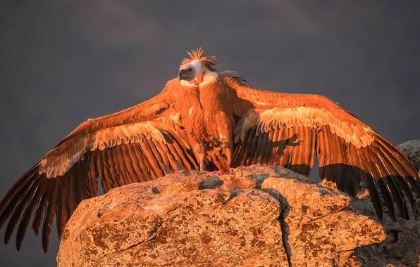 Картинка птица, крылья, хищник, гриф, Белоголовый сип