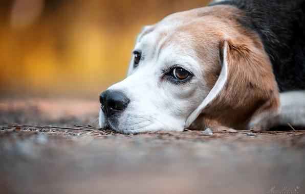 Картинка взгляд, морда, собака, боке, Бигль