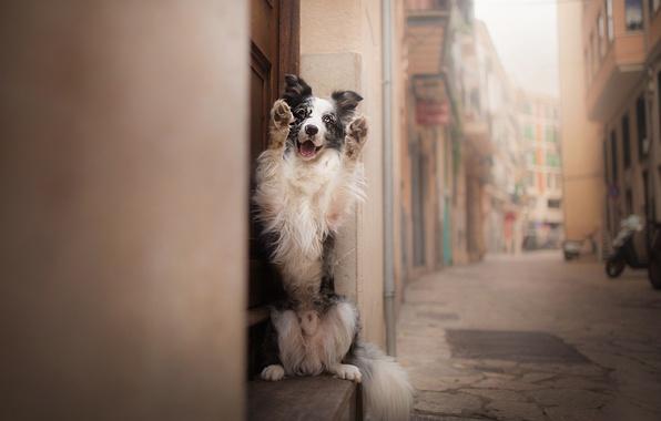 Фото обои друг, улица, пёс, Бордер-колли
