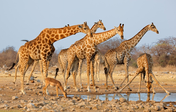 Картинка песок, солнце, камни, жирафы, водопой, кусты, стадо