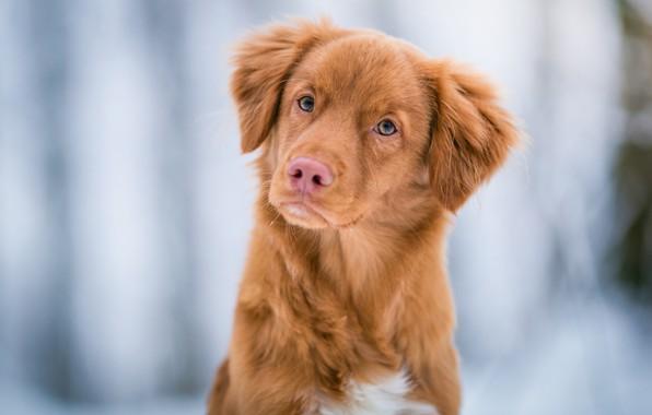 Картинка зима, иней, глаза, взгляд, природа, фон, голубой, зимний, портрет, собака, светлый, рыжий, мордочка, щенок, милашка, ...