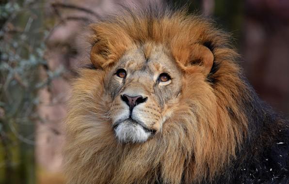 Картинка глаза, взгляд, морда, кошки, природа, фон, портрет, лев, грива, дикие кошки, красавец, смотрит вверх