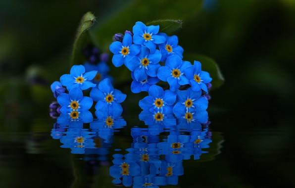 Фото обои вода, макро, отражение, незабудки
