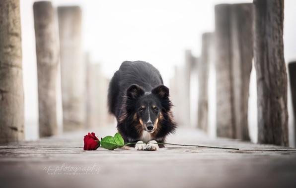 Картинка цветок, роза, собака