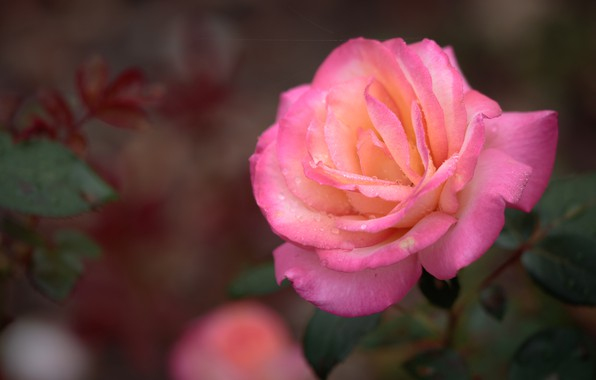 Картинка капли, макро, розовая, роза, лепестки, бутон