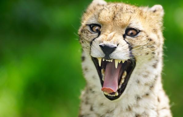 Картинка язык, морда, фон, зубы, пасть, гепард, дикая кошка