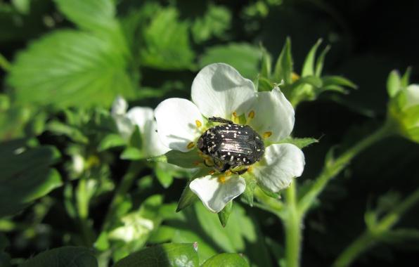 Картинка цветы, жук, клубника