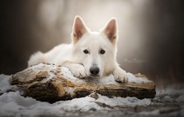 Картинка взгляд, морда, снег, собака, бревно, Белая швейцарская овчарка