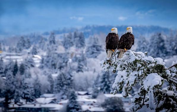 Картинка зима, снег, птицы, ветка, пара, дуэт, Белоголовый орлан