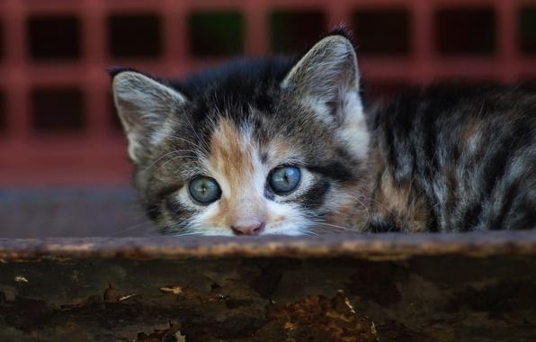 Фото обои кошка, кот, взгляд, котенок, фон, маленький, малыш, мордочка, прятки, доска, котёнок, пестрый