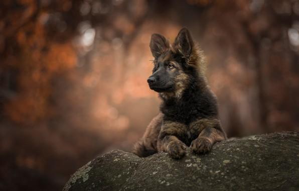 Картинка фон, камень, портрет, собака, щенок, боке, овчарка