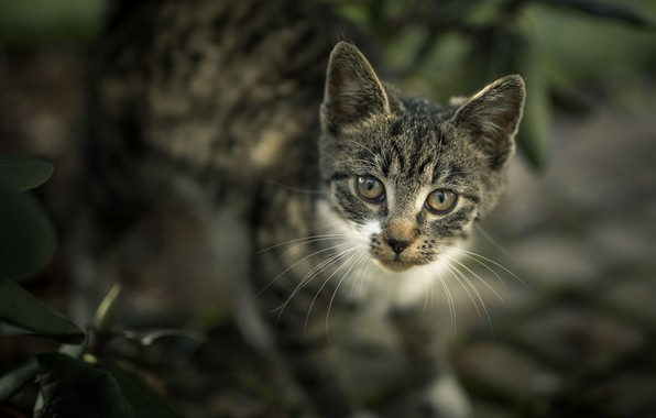 Картинка взгляд, мордочка, котёнок, боке, котейка