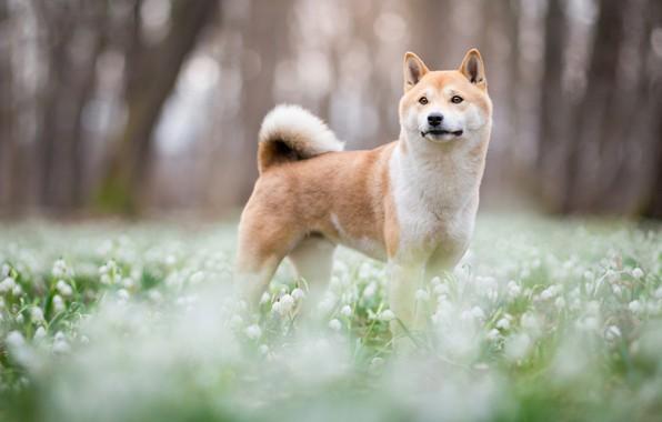 Картинка лес, взгляд, морда, деревья, цветы, природа, парк, фон, поляна, собака, весна, размытость, подснежники, милый, щенок, …