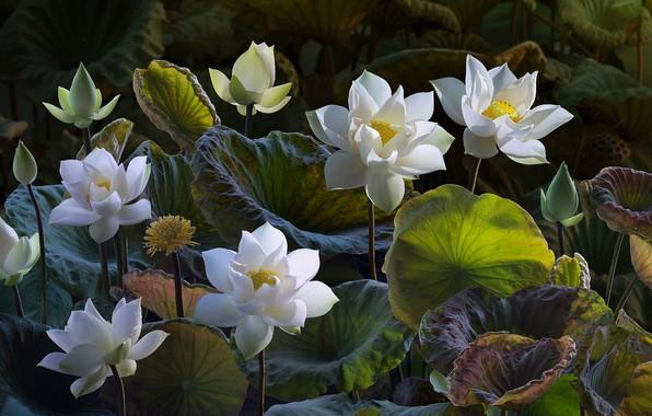Картинка листья, цветы, природа, обработка, арт, лотос, белые, бутоны, лотосы, композиция