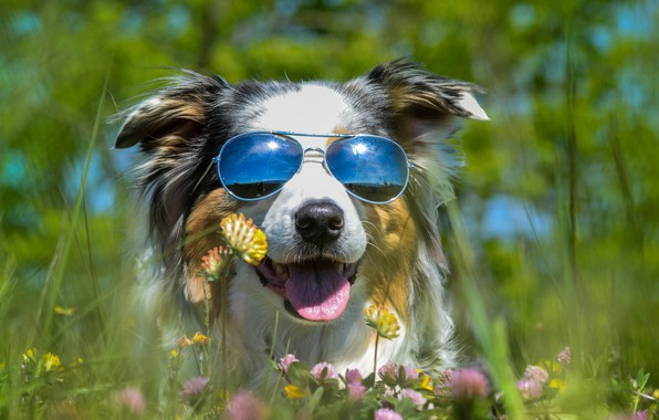 Картинка язык, лето, отдых, поляна, собака, очки, клевер, ярко, солнечно, солнечные, темные, кайф, австралийская овчарка, портерт, ...