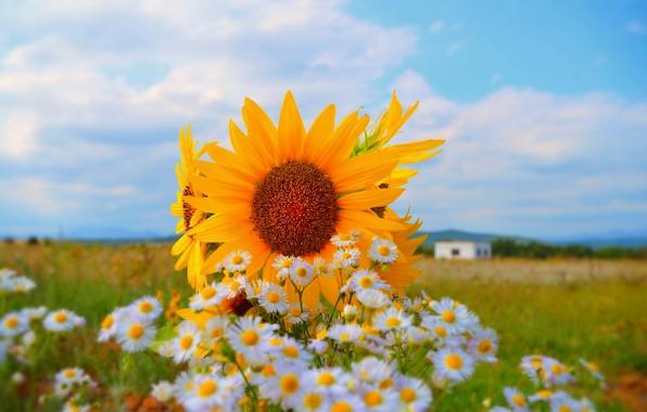 Картинка Природа, Поле, Лето, Цветочки, Подсолнухи, Nature, Flowers, Summer, Field, Sunflowers