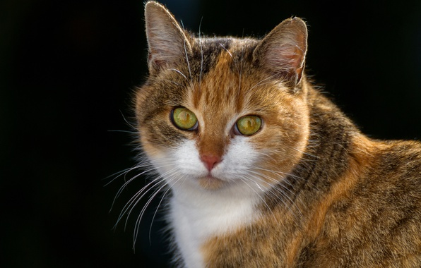 Картинка кошка, взгляд, фон, портрет, мордочка