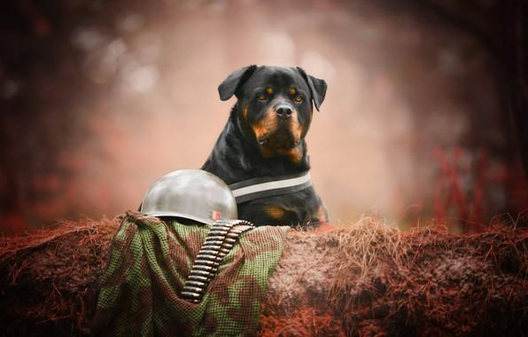 Картинка взгляд, морда, портрет, собака, Ротвейлер, патроны, каска, боке, вояка