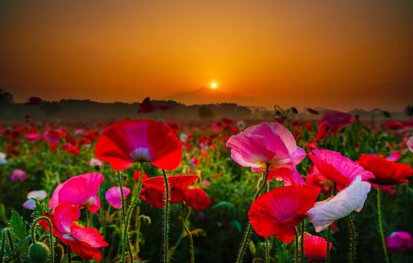 Картинка поле, цветы, восход, рассвет, маки, гора, утро, Япония, размытость, Japan, Mount Tsukuba, Гора Цукуба
