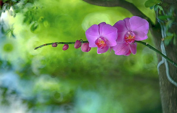Картинка фон, лепестки, орхидея
