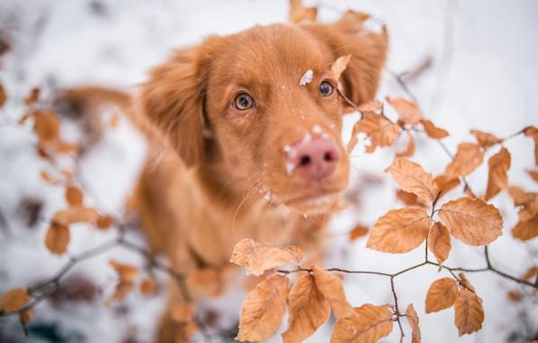 Картинка зима, иней, глаза, взгляд, листья, снег, ветки, природа, фон, листва, портрет, собака, размытость, нос, рыжий, ...