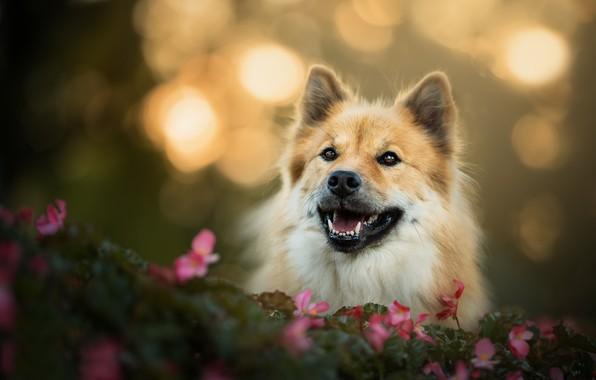 Картинка взгляд, морда, цветы, собака, боке, Евразиер