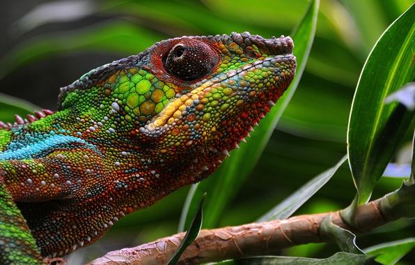 Картинка макро, хамелеон, кожа, цветной
