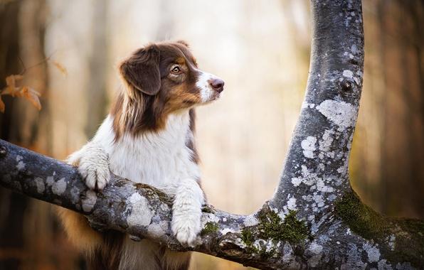 Картинка дерево, собака, рыжая, Kaylee
