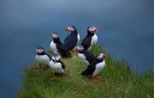 Картинка птицы, травка, семейство, Atlantic puffin, Тупики