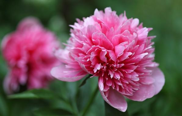 Картинка цветы, розовый, бутон, боке, пион