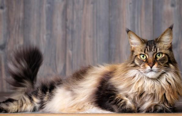 Картинка кошка, кот, взгляд, морда, серый, фон, доски, хвост, лежит, полосатый, зеленоглазый, мейн-кун