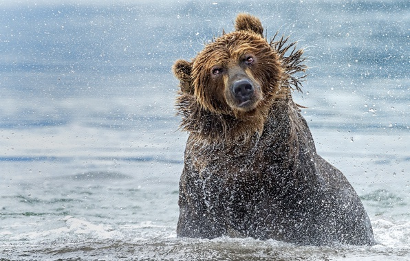 Картинка вода, брызги, река, медведь