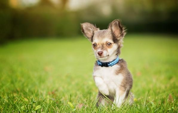 Картинка трава, собака, мордашка, лужайка, чихуахуа, боке, пёсик, лапка, собачонка