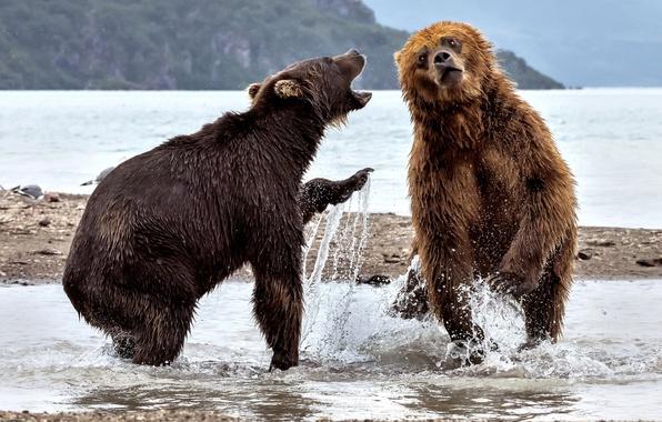 Картинка вода, брызги, река, медведи, два медведя