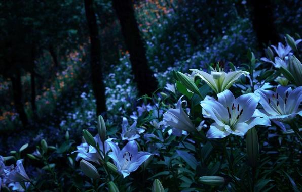 Лунный свет цветок