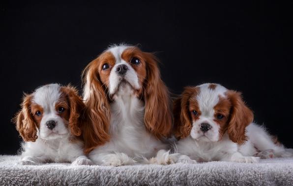 Картинка семья, щенки, мама, кавалер кинг чарльз спаниель