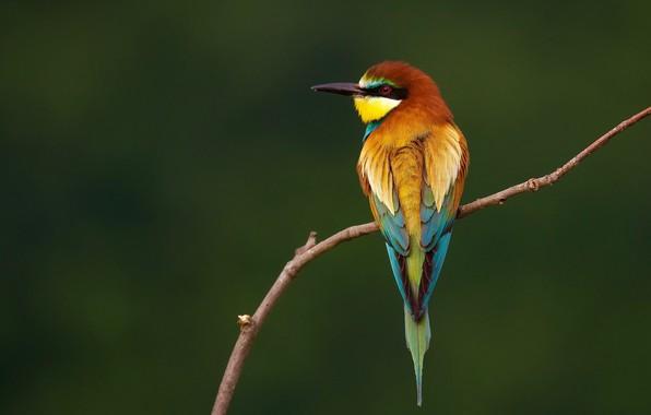 Фото обои птицы, ветка, золотистая щурка