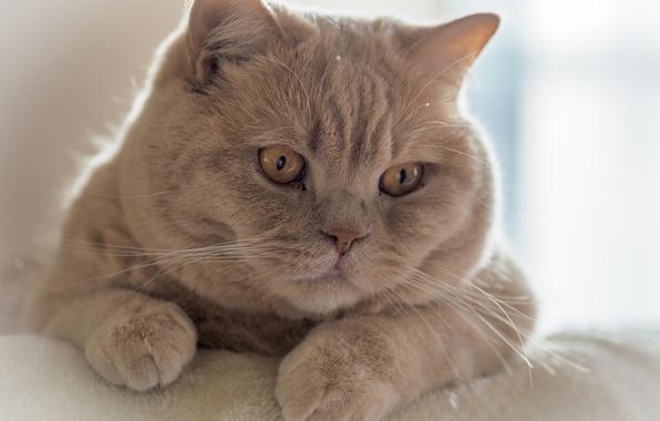 Картинка кот, взгляд, портрет, мордочка, котэ, красавец, котейка, Британская короткошёрстная кошка