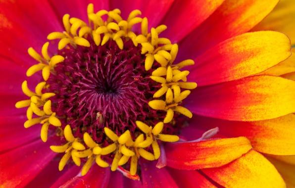 Картинка цветок, макро, краски, лепестки, цинния